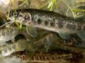 Čistší voda svědčí lidem i lososům, kteří se vrací do našich řek