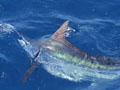 Rybaření v Africe - můj první mečoun