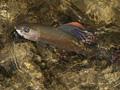Příčiny úbytku lipana v bavorských řekách