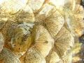Nemoci ryb 8. - Parazitální infekce - atropodózy