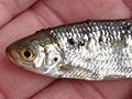 Nemoci ryb způsobené červy - motolice - 10. díl