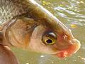 Taktiky lovu feederem – podzimní ostroretky