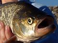 Slangové a lidové názvy ryb - 1. díl