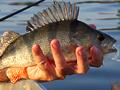 Nemoci ryb 15: Okouni na oxazepamu, aneb vliv znečištění farmaky