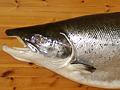 Historie lovu ryb 6. díl: O lososech v našich řekách
