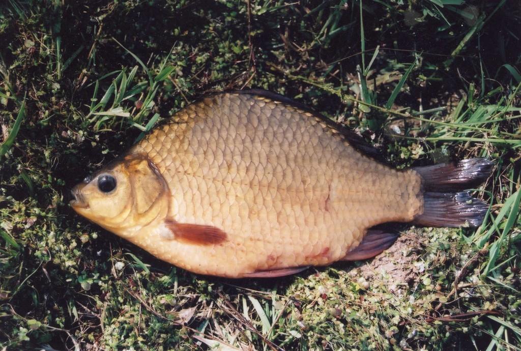 7920b81dd8f6 Ohrožené ryby našich vod - Karas obecný - Chytej.cz