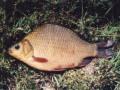 Ohrožené ryby našich vod - Karas obecný